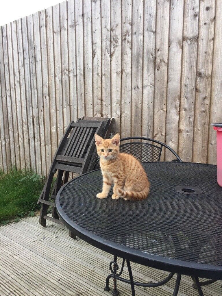 Pure ginger kitten 13 weeks old