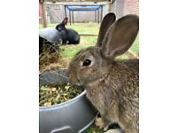 LAST TWO FAMILY FRIENDLY BUNNIES