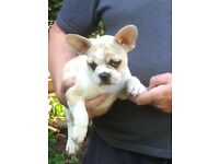 READY TO LEAVE KC REGISTERED FRENCH BULLDOG PUPPIES
