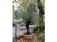 Mature Olive Tree in pot