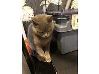 Stunning blue female british shorthair with papers