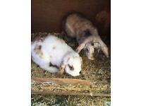 2 female lop eared rabbits