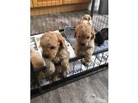 Miniature poodle puppies