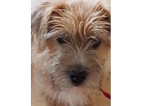 Beautiful 6 month old shih tzu x cairn terrier