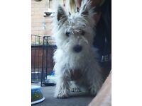 White west highland terrier puppy , age 6 months