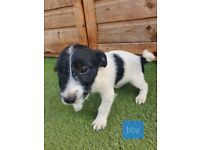 Black and white terriee pup 11 weeks old ONLY ONE LEFT