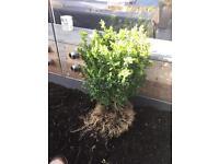 Buxus plants must go £2.50 each
