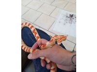 4 ft corn snake