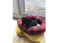 Miniature dachshund boy puppy