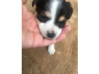 Lovely jack Russell x chihuahua pups
