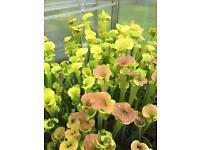 Sarracenia, pitcher plants for sale