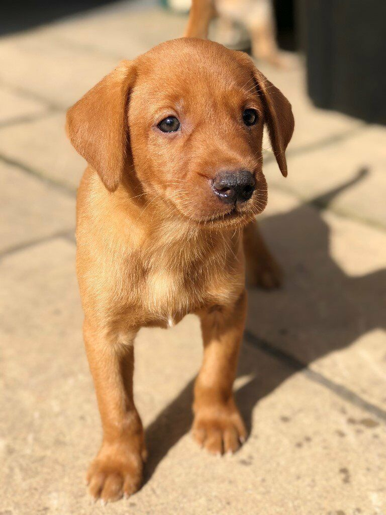 Yellow And Fox Red Labrador Pups For Sale Dogs And Bitches In