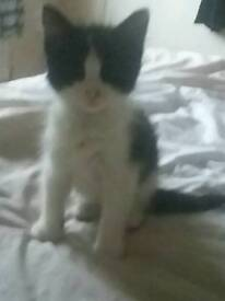 Beautiful black and white Male kitten for sale