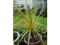 Cordyline Palm tree Torbay Palm tree 100cm, ready to plant out, been outside for 2 winters, exotic