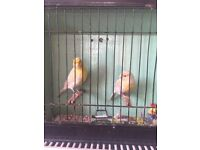 Pair of Yellow agate canary for sale