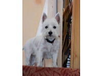 West Highland Terrier 3 1/2 years old. Girl, Ruby