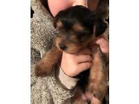 Yorkshire terrier puppy girl
