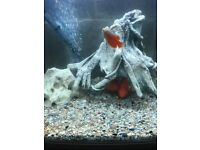 2 x tropical fish gourami for fish tank very nice look pic