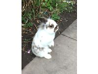 male rabbit for sale with cage/accessories
