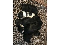 Stunning Sprocker puppys for sale