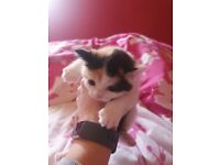 Beautiful Calico kittens for sale