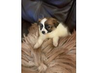 Pomeranian X Jack Russell puppy for sale Gorgeous
