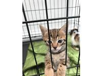Stunning Cross Bengal Kittens