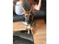 German shepherd puppy 6 months old