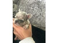 Merle Boy French Bulldog Puppies