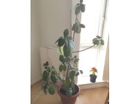 Large rubber plant looking for a good home
