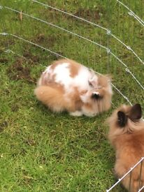 Lion head rabbits