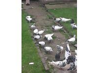 I got some pigeons for sale