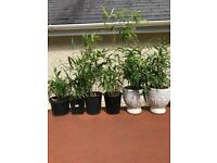 Bamboo plants - shooting well need planting/potting bigger