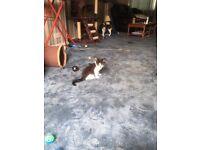 10 week male kitten for sale