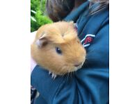 2 lovely female guniea pigs with indoor and outdoor cage