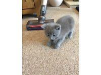 British Blue Ragdoll Cross Kittens