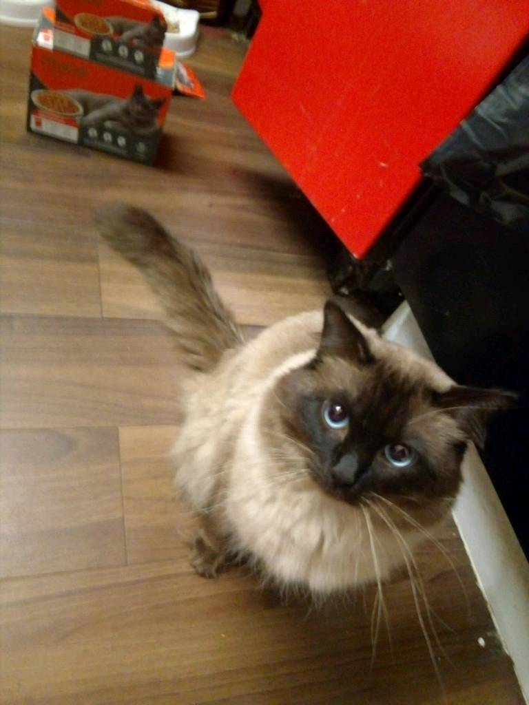ragdoll boy cat no been neuter in sandwell west midlands gumtree