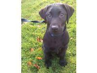 8 month old Black Labrador Male