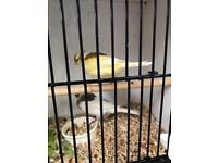 Pair new colour canaries 1 white 1 yellow