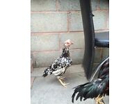 Mianeaali hen and Aseel for sale