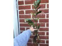Rooted zz house plant
