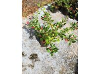 Pyracantha Firethorn plants. Quantity 34 in pots 1 -2ft high plus 1 x Ilex (Holly) hedge hedging