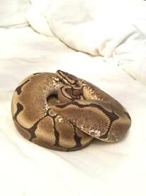 Cb16 male Spider het pied Royal Python.