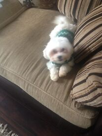 White Maltese missing last seen in Filey area on 25 march puppy 9 month reward if found