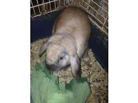 Lop eared rabbit (male)
