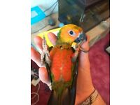 Baby Silly Tame Jenday Conures