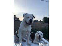 Wonderful active american bulldog puppies