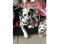 Kc registered Dalmatian puppies for sale