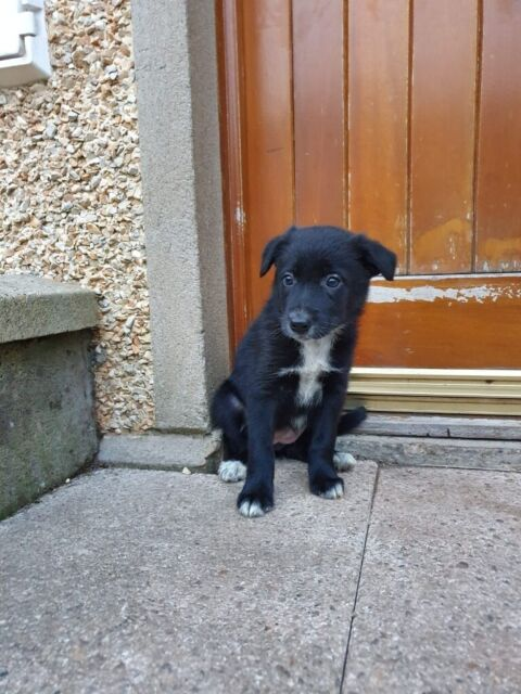 Collie pups/puppies for sale | in Moneymore, County Londonderry | Gumtree
