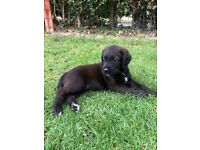 Bullmastiff cross standard poodle puppy ready to leave